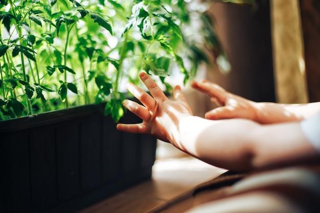 Bebê mãos tocando mudas de tomate Foto Premium