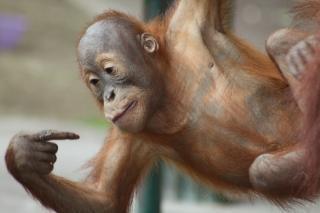 Bebê orangotango, o macaco Foto gratuita