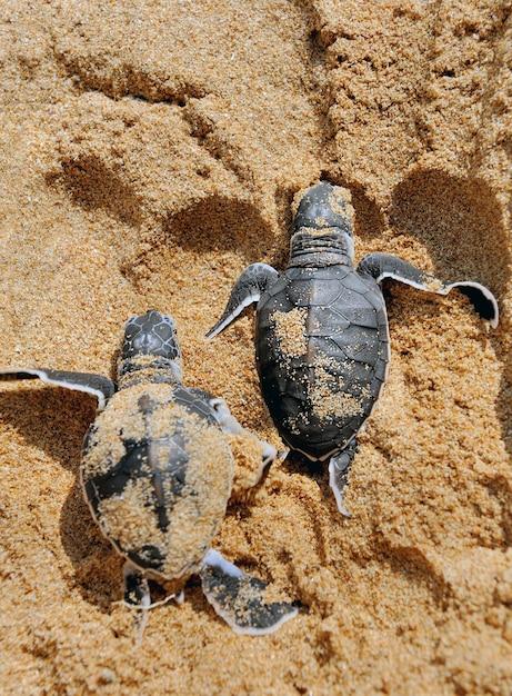 Bebês tartarugas se movendo em direção ao oceano Foto gratuita