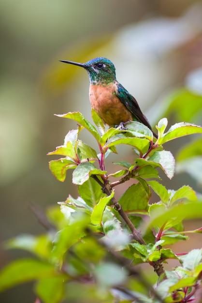Beija-flor fêmea descansando em um pequeno arbusto Foto Premium