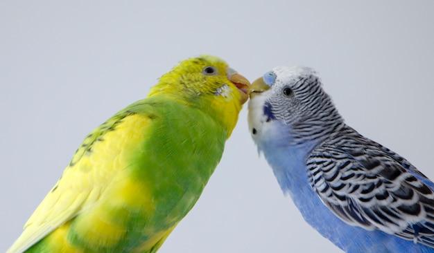 Beije papagaios ondulados. passarinhos tocavam os bicos um do outro Foto Premium