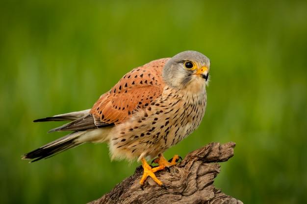 Bela ave de rapina em um tronco Foto Premium