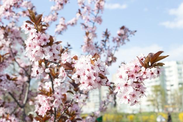 Bela flor de cerejeira sakura em tempo de primavera, céu azul. Foto Premium