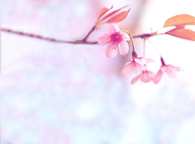 Bela flor rosa flor de sakura japonesa para plano de fundo com ...