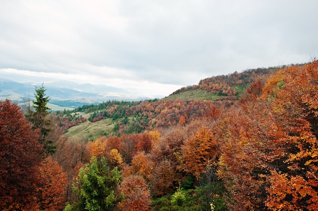 Bela floresta de outono laranja, verde e vermelho. floresta do outono, muitas árvores nas colinas alaranjadas em montanhas carpathian em ucrânia, europa. Foto Premium