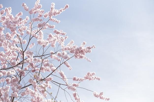 Bela foto ampla de flores de sakura rosa ou flores de cerejeira sob um céu claro Foto gratuita