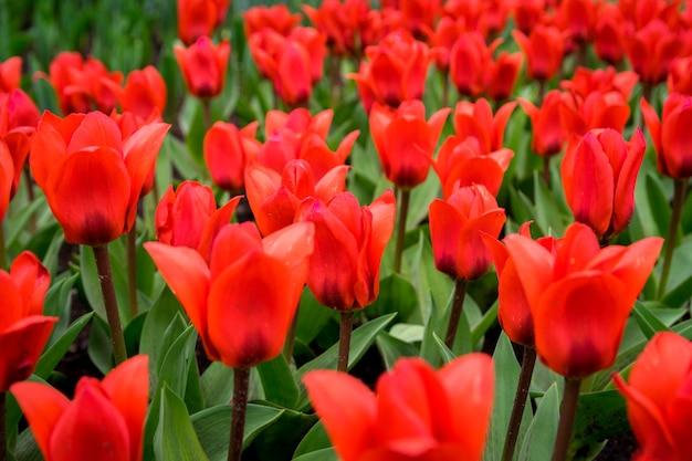 Bela foto das tulipas coloridas no campo em um dia ensolarado Foto gratuita