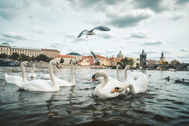 Bela foto de cisnes brancos e gaivotas no lago em praga, república tcheca Foto gratuita