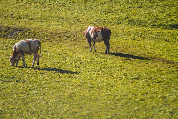 Bela foto de duas vacas comendo em um campo gramado em dolomitas itália Foto gratuita