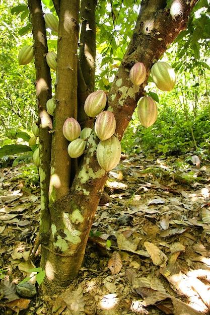 Bela foto de plantações de cacau com folhas verdes em uma selva Foto gratuita