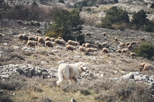 Bela foto de um cão e um rebanho de ovelhas no interior da riviera francesa Foto gratuita