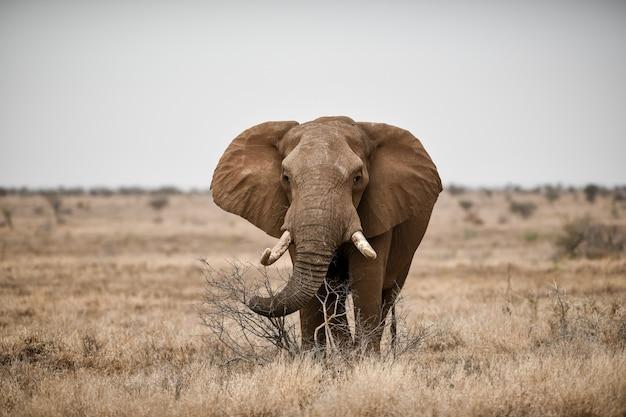 Bela foto de um elefante africano no campo da savana Foto gratuita