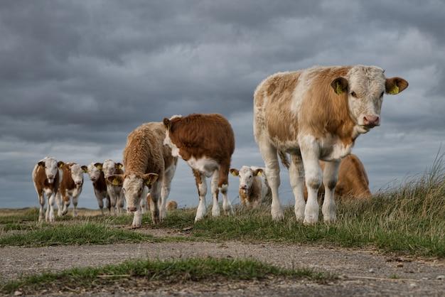 Bela foto de um grupo de vacas no pasto sob as belas nuvens escuras Foto gratuita