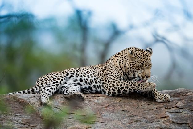 Bela foto de um leopardo africano descansando na rocha com um fundo desfocado Foto gratuita