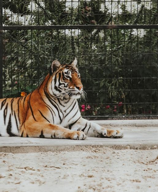 Bela foto de um tigre de bengala, deitado no chão em um zoológico Foto gratuita