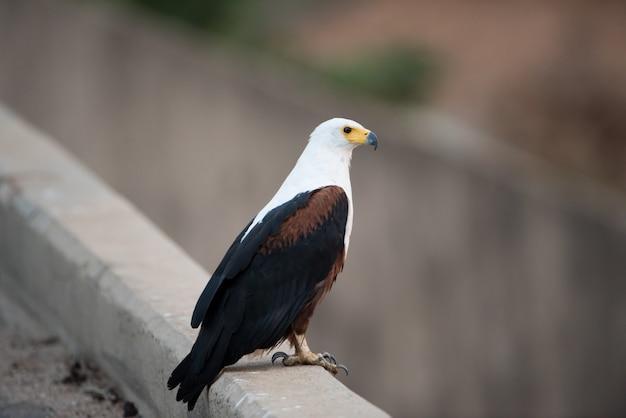 Bela foto de uma águia Foto gratuita