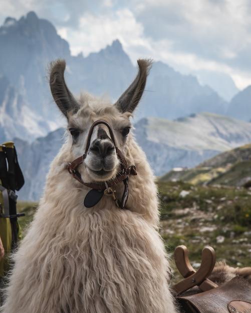 Bela foto de uma lama branca olhando para a câmera com montanhas desfocadas ao fundo Foto gratuita