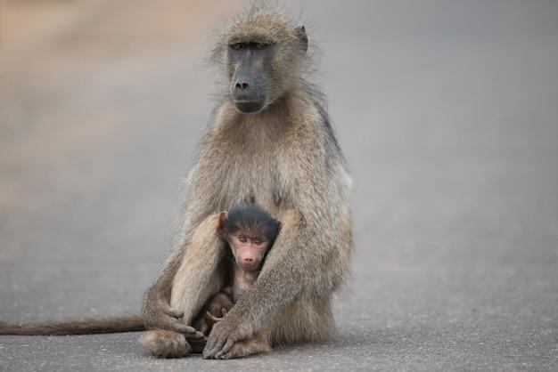 Bela foto de uma mãe e um bebê babuíno sentados na estrada Foto gratuita