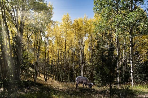 Bela foto de uma ovelha bharal comendo grama e rodeada por árvores verdes e amarelas Foto gratuita