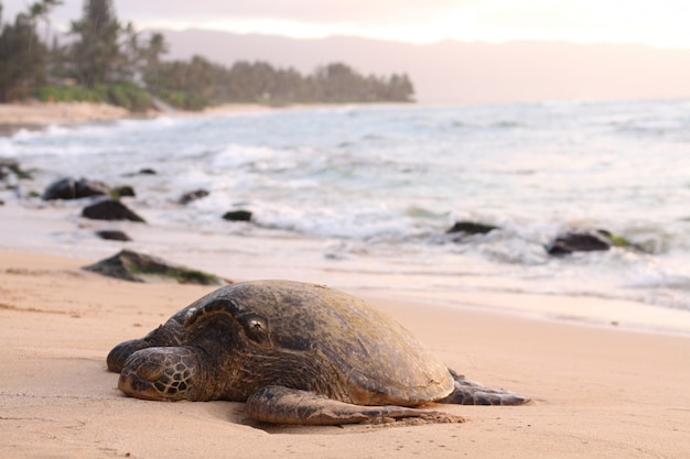 Bela foto de uma tartaruga gigante à beira-mar Foto gratuita