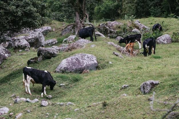 Bela foto de vacas pastando Foto gratuita