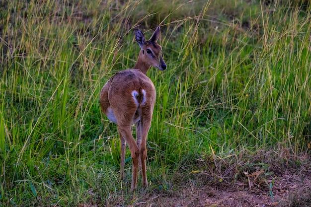 Bela foto de veado por trás, olhando para trás em um campo gramado Foto gratuita
