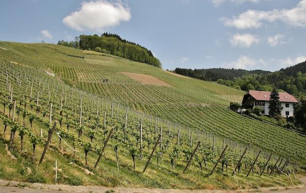 Bela foto de vinhedos verdes e montanhosos ensolarados antes da colheita na cidade de kappelrodeck Foto gratuita