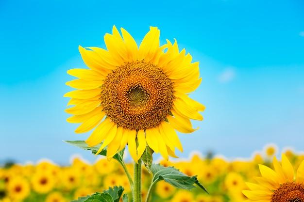 Bela paisagem com campo de girassol nublado céu azul e luzes do sol brilhante Foto Premium