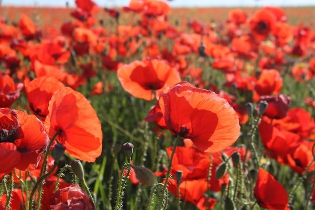 Bela paisagem com papoilas vermelhas Foto gratuita