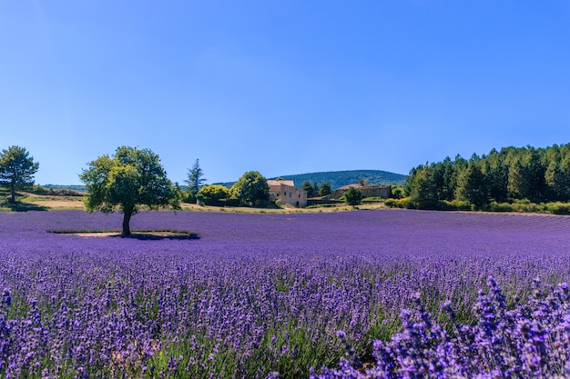 Bela paisagem de um campo de lavanda florescendo com uma casa em provence. Foto Premium