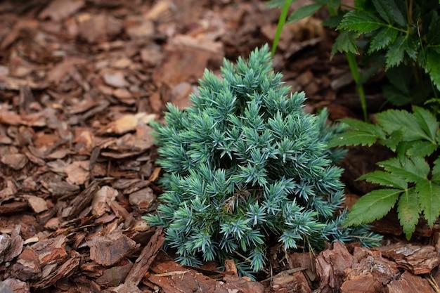 Bela planta alpina junípero estrela azul em jardim com cobertura morta de casca de pinheiro Foto Premium