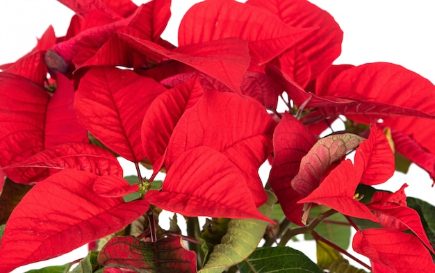Bela planta para decorar no natal Foto Premium