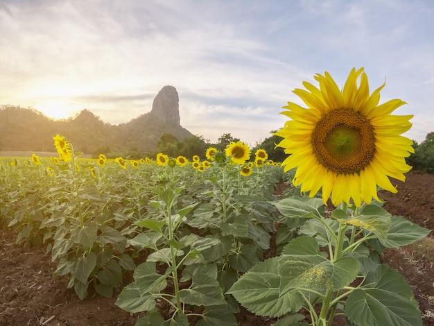 Bela vista do campo de girassol com fundo moutain no pôr do sol Foto Premium