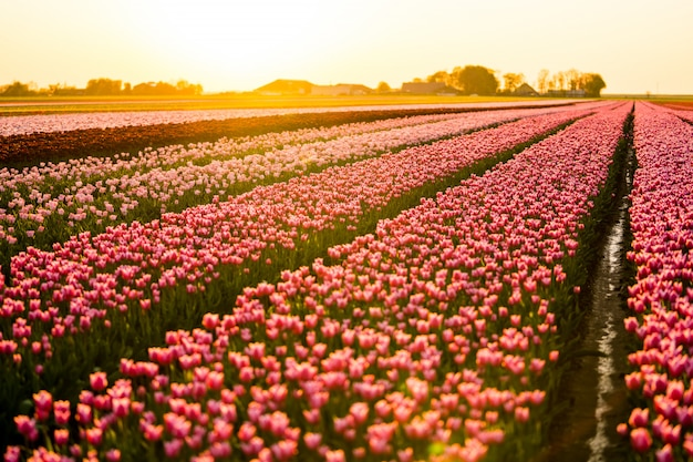 Belas paisagens de um campo de tulipas sob o céu pôr do sol Foto gratuita