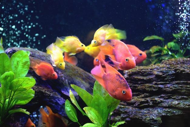 Belo aquário com cichlidae de papagaio de sangue Foto Premium