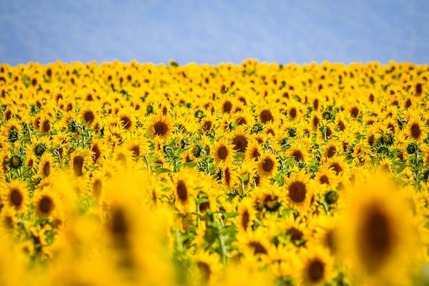 Belo campo de girassóis em um dia ensolarado. álava, país basco, espanha Foto Premium