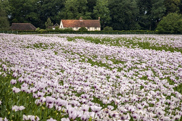 Belo campo de papoulas rosas em oxfordshire, reino unido e uma casa de fazenda Foto gratuita