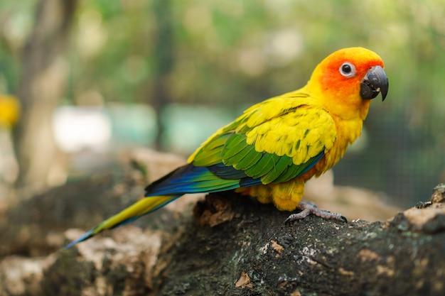 Belo colorido sol conure papagaio aves no galho de árvore Foto Premium
