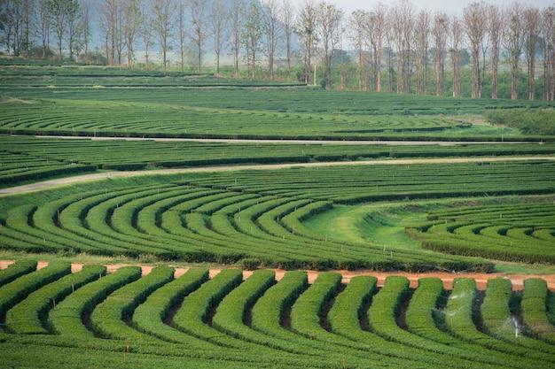 Belo jardim de chá verde paisagem Foto Premium