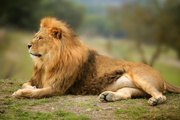 Belo leão selvagem animal retrato masculino Foto Premium