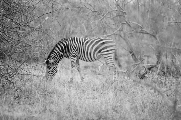 Belo tiro distante de uma zebra selvagem pastando na grama em hoedspruit, áfrica do sul Foto gratuita