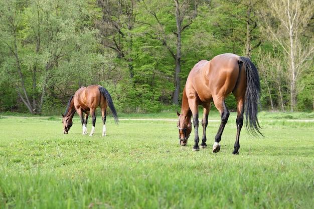 Belos cavalos pastando livremente na natureza. Foto gratuita