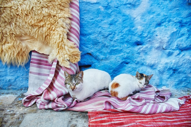 Belos gatos vadios dormem e andam nas ruas de marrocos, ruas de conto de fadas e gatos vivendo neles. gatos sem teto solitários Foto Premium