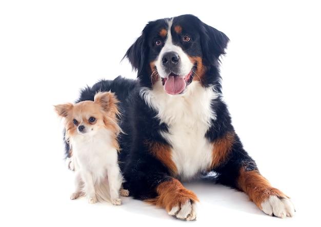 Bernese moutain cão e chihuahua Foto Premium