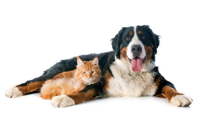 Bernese moutain cão e gato Foto Premium