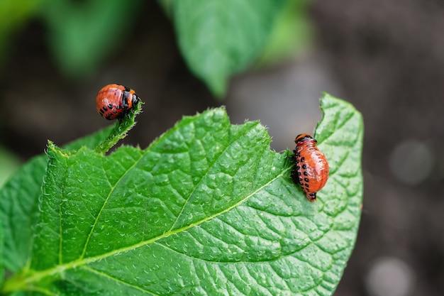 Besouros de colorado jovens comem folha de batata Foto Premium