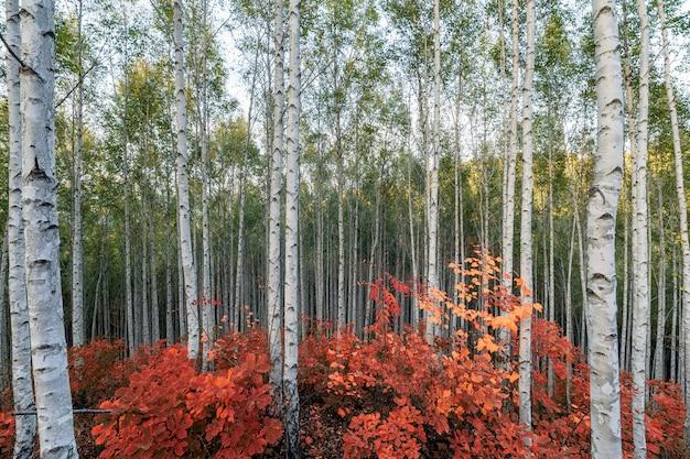 Bétulas com folhas vermelhas planta no outono na floresta de inje Foto Premium