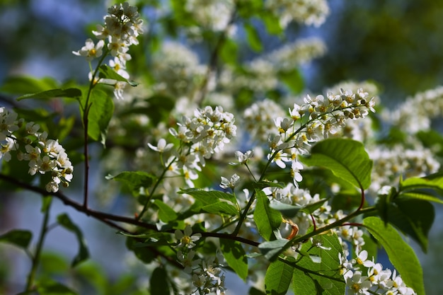 Bird cherry flowers Foto gratuita