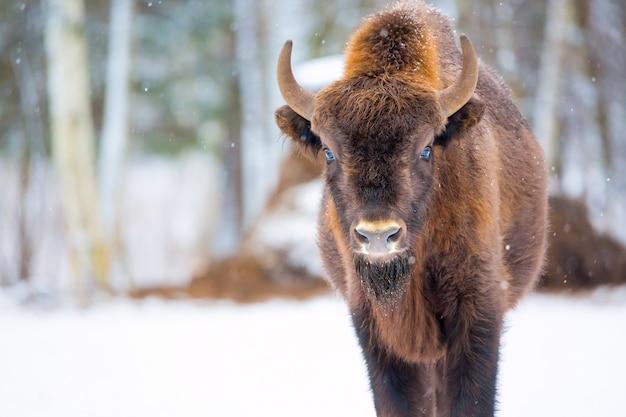 Bisonte marrom grande perto da floresta de inverno com neve Foto Premium