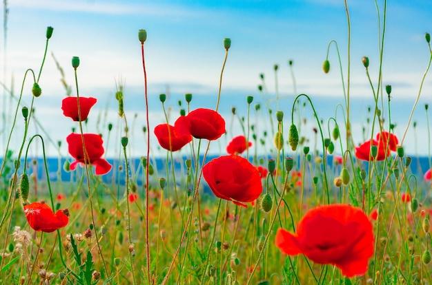 Bloom flores de papoula vermelhas selvagens com um belo borrão bokeh no fundo da grama verde Foto Premium